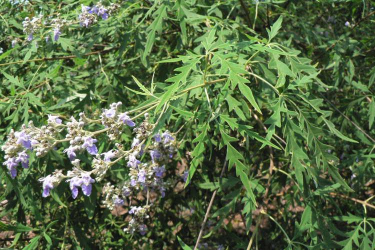 Vitex negundo var. heterophylla (cutleaf chaste tree)