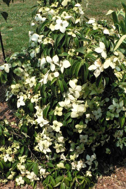 Cornus elliptica 'Elsbry' (Empress of China evergreen flowering dogwood)