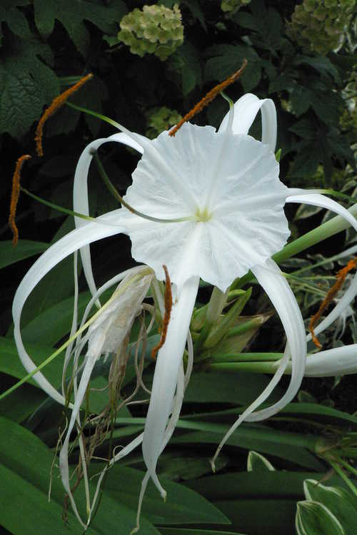 Hymenocallis imperialis (spider lily)