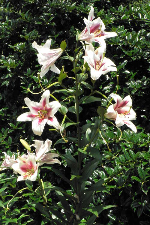 Lilium 'Altari' (hybrid lily)