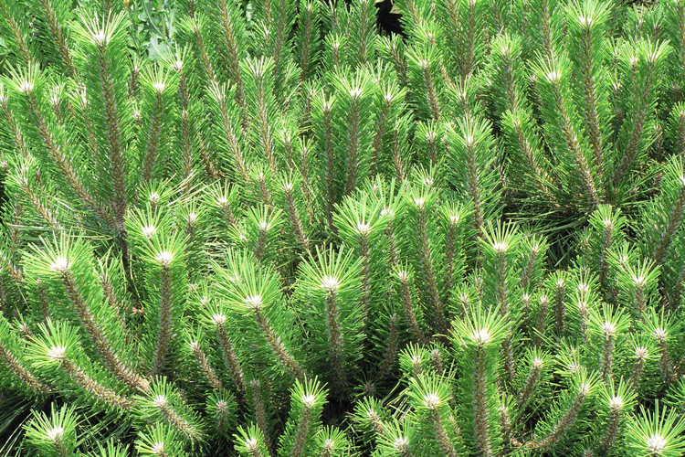 Pinus thunbergii 'Banshosho' (dwarf Japanese black pine)