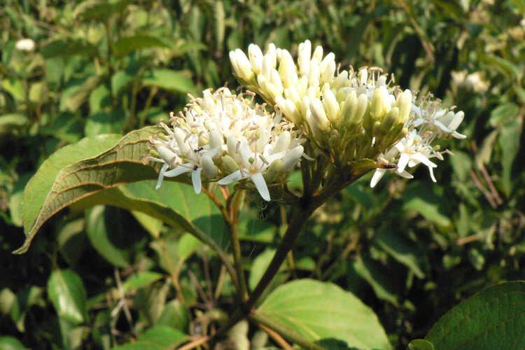 Cornus rugosa (roundleaf dogwood)