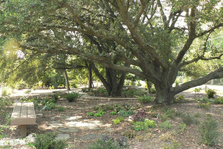 Quercus virginiana (live oak)