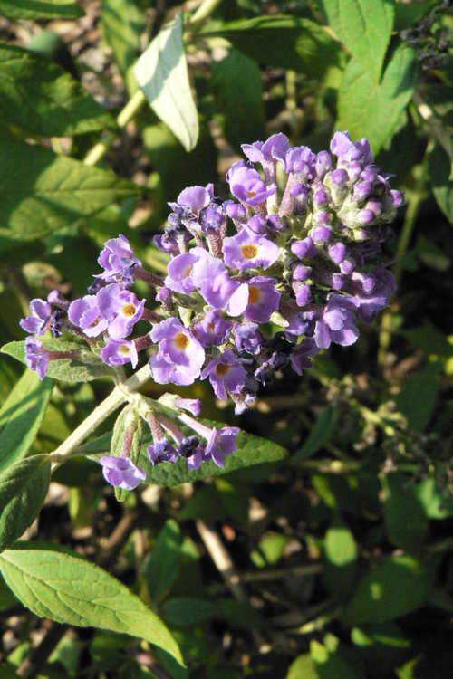 Buddleja 'Blue Chip' (compact butterfly-bush)