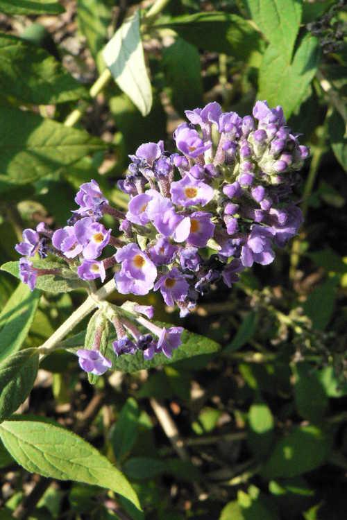 Buddleja 'Blue Chip' (Lo & Behold compact butterfly-bush)