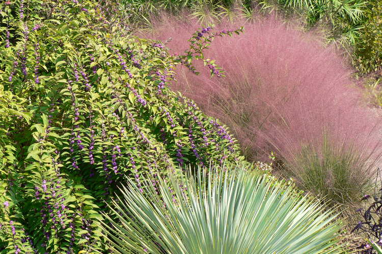 Callicarpa dichotoma 'Issai' (purple beautyberry) and Muhlenbergia capillaris (hairy-awn muhly grass) and Yucca rostrata (Mexican blue yucca)