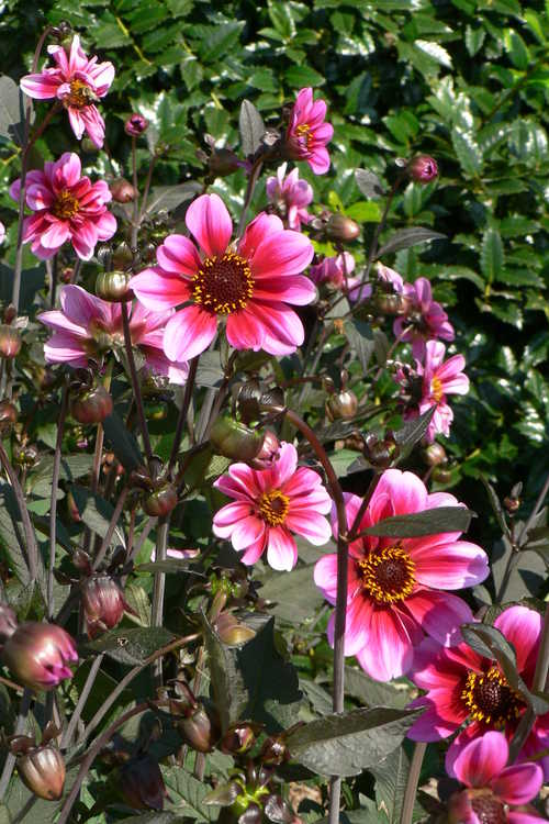 Dahlia 'Classic Giselle' (garden dahlia)