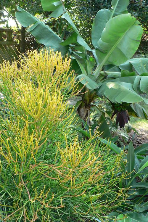 Euphorbia tirucalli 'Rosea' (firesticks pencil cactus)