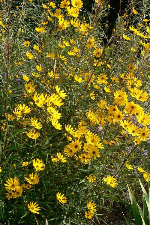 Helianthus longifolius (longleaf sunflower)