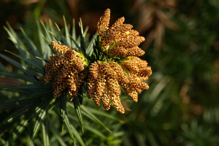 Cunninghamia lanceolata 'Chason's Gift' (China-fir)
