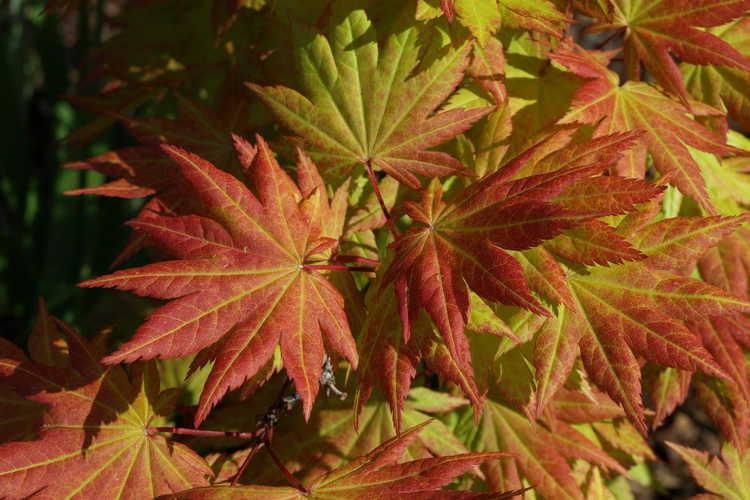 Acer shirasawanum 'Autumn Moon' (Shirasawa maple)