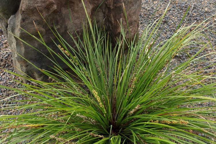 Lomandra longifolia 'LM 300' (Breeze dwarf longleaf mat-rush)
