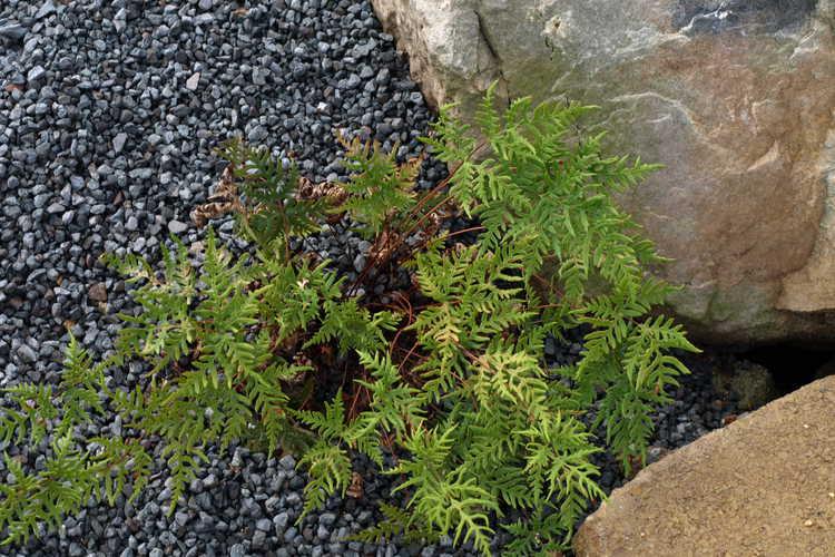 Cheilanthes argentea (silver cloak fern)