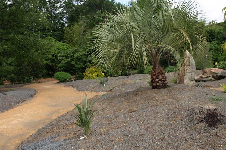 Butia capitata (pindo palm)