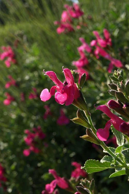 Salvia microphylla 'San Carlos Festival' (baby sage)