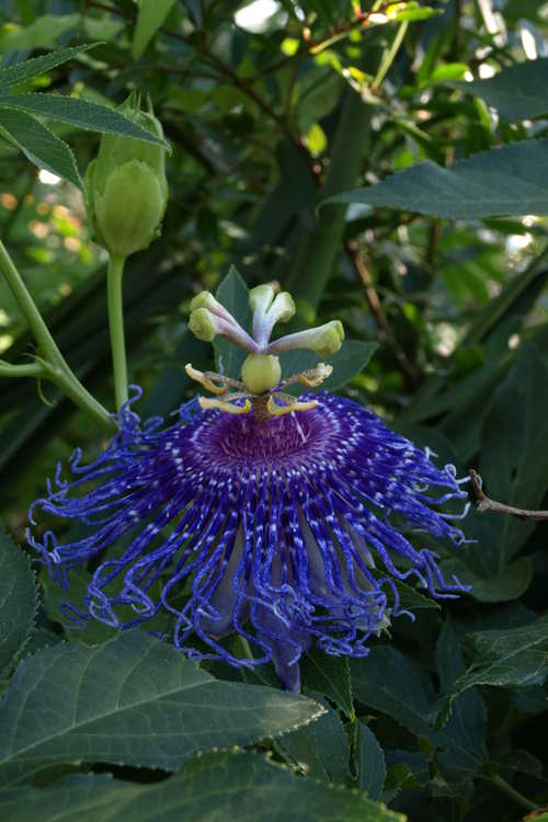 Passiflora 'Inspiration' (purple passion flower)
