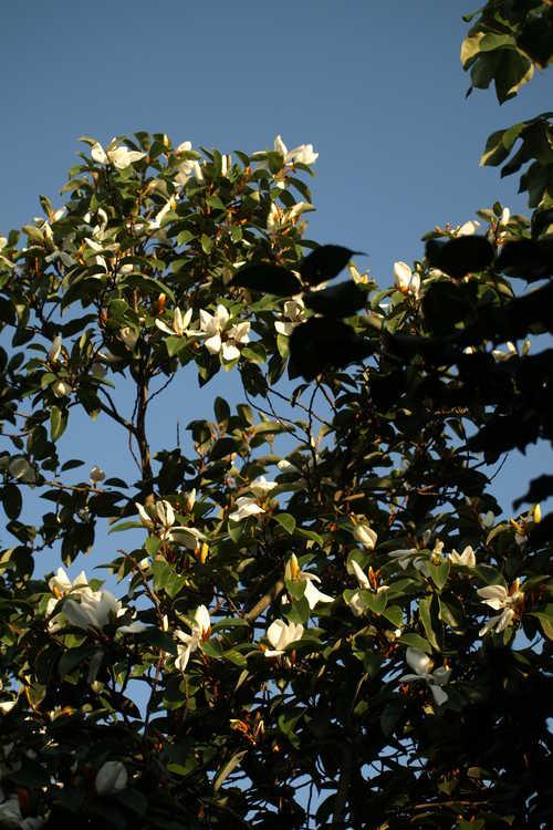 Magnolia cavaleriei var. platypetala (ivory-flower michelia)