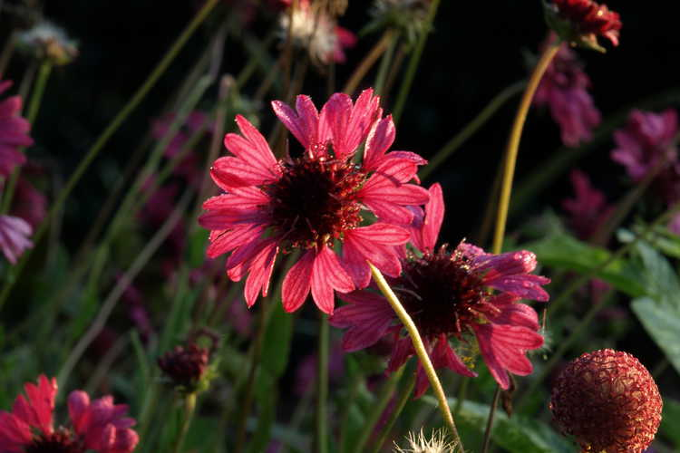 Gaillardia aestivalis var. winkleri 'Grape Sensation' (purple Texas firewheel)