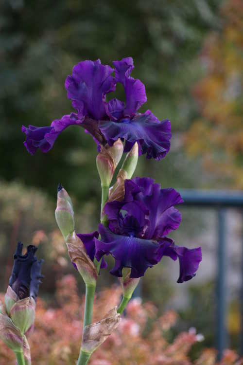 Iris 'Midnight Mink' (tall bearded iris)