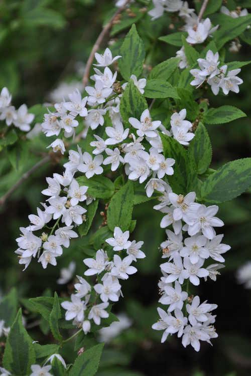 Deutzia scabra 'Variegata' (variegated rough deutzia)