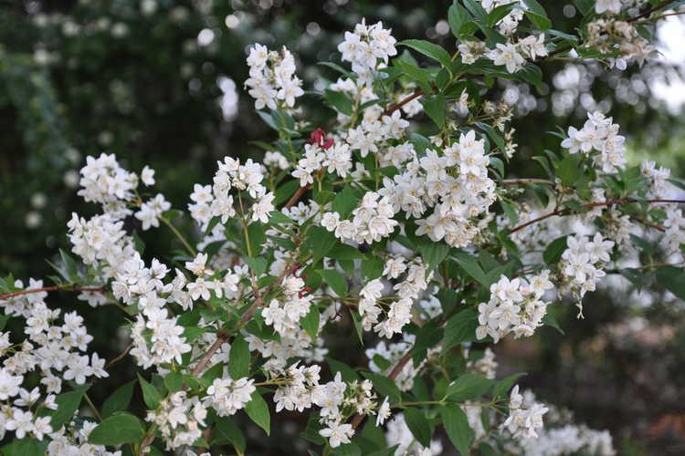 Deutzia ×kalmiiflora (hybrid deutzia)