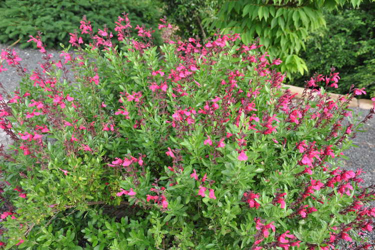 Salvia greggii 'Pink Perfection' (autumn sage)