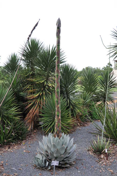 Agave parryi 'J.C. Raulston' (mescal barrel agave)