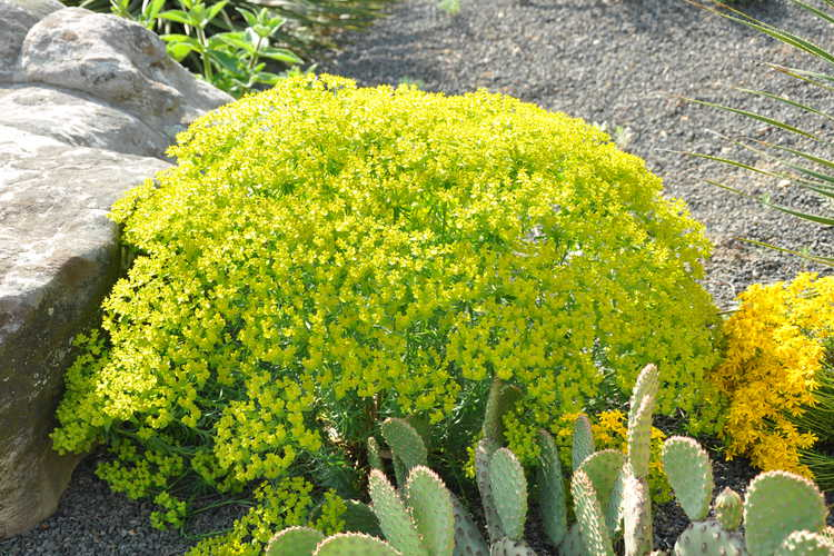 Euphorbia 'Dean's Hybrid' (Dean's spurge)
