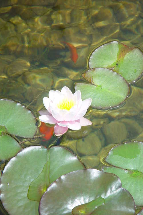 Nymphaea (water-lily)