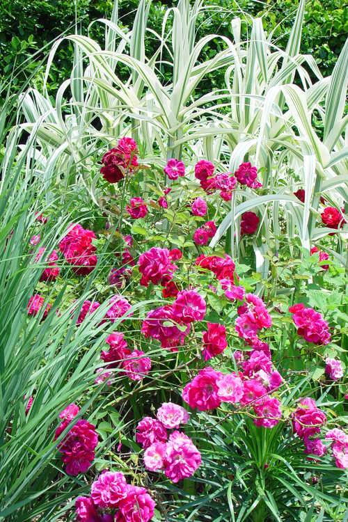 Arundo donax 'Variegata' (striped giant reed) and Rosa 'Dr. Huey' (climbing rose)
