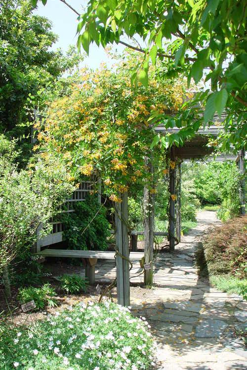 Lonicera 'Mandarin' (orange honeysuckle) - Arbor in the Mixed Border