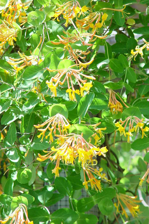 Lonicera 'Mandarin' (orange honeysuckle)