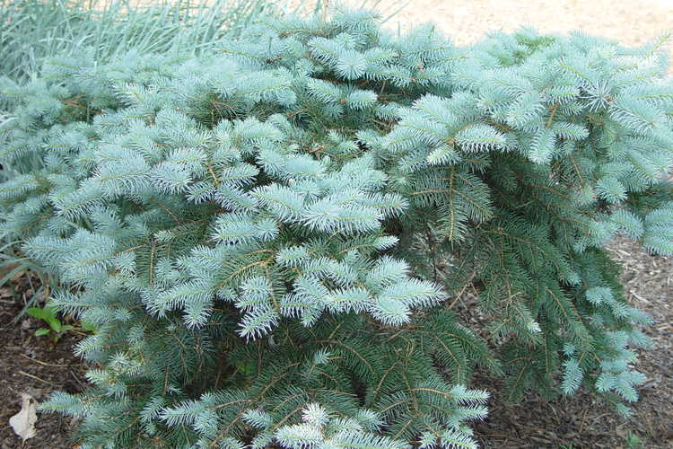 Picea pungens 'Mission Blue' (compact Colorado blue spruce)