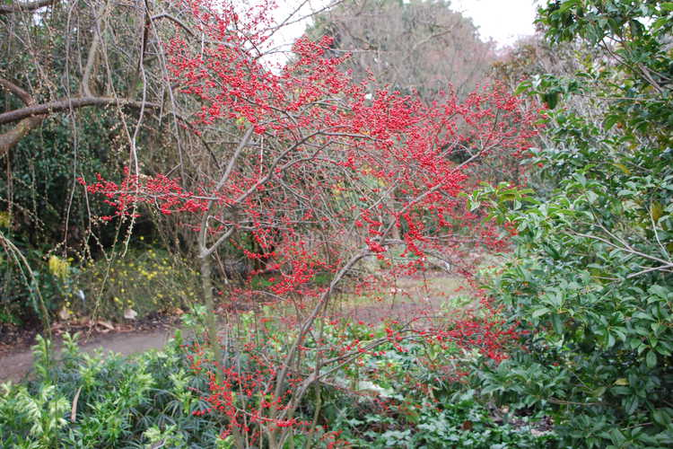 Ilex verticillata 'Scarlett O'Hara' (winterberry holly)