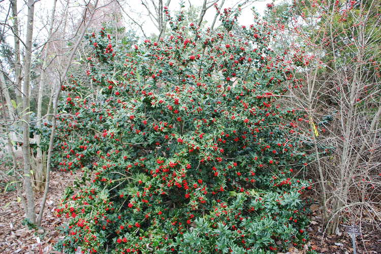 Ilex cornuta 'Autumn Fire' (early-fruiting Chinese holly)