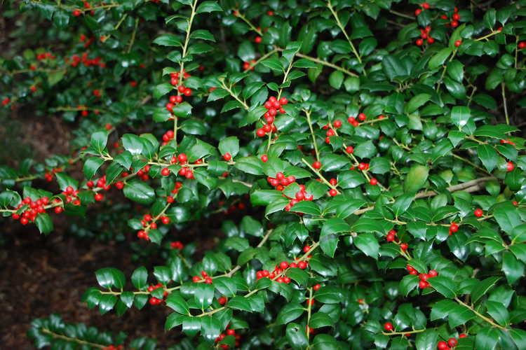 Ilex 'Dorothy Lawton' (Dodd hybrid evergreen holly)