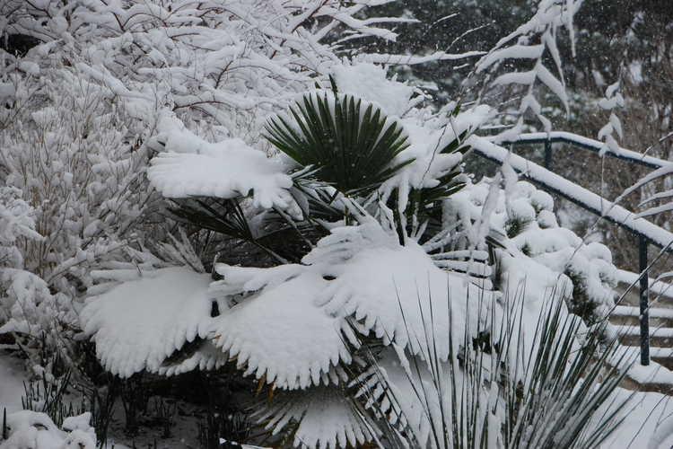 Trachycarpus fortunei (Bulgaria) (hardy windmill palm)