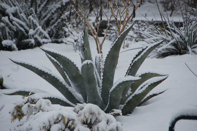 Agave scabra (rough agave)