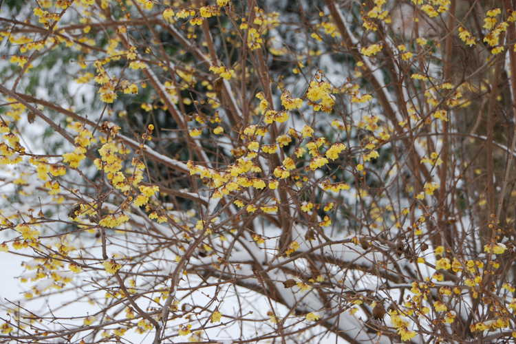 Chimonanthus praecox 'Luteus' (fragrant wintersweet)