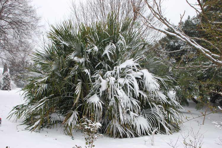 Rhapidophyllum hystrix (needle palm)