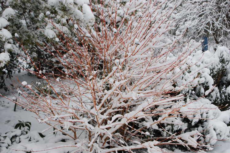 Cornus sanguinea 'Midwinter Fire' (bloodtwig dogwood)