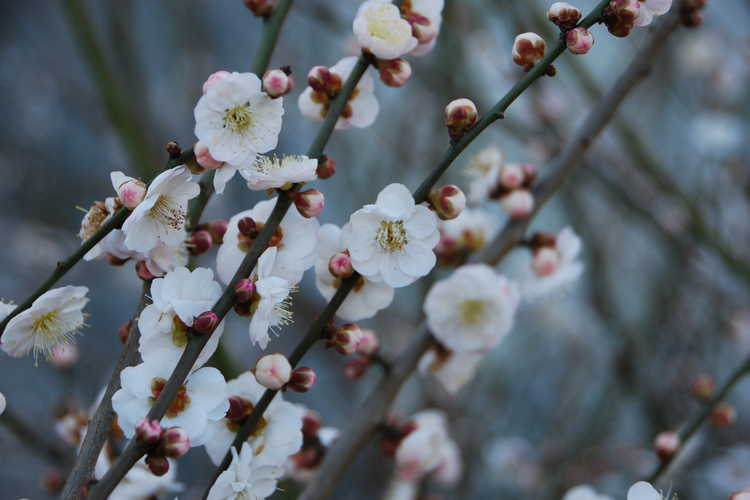 Prunus mume 'Omoi-no-mama' (Japanese flowering apricot)