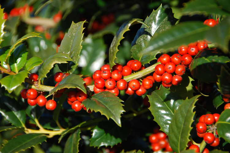 Ilex 'Mary Nell' (McDaniel hybrid evergreen holly)