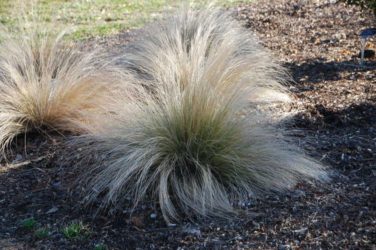 Stipa lessingiana 'Capriccio' (feather grass)