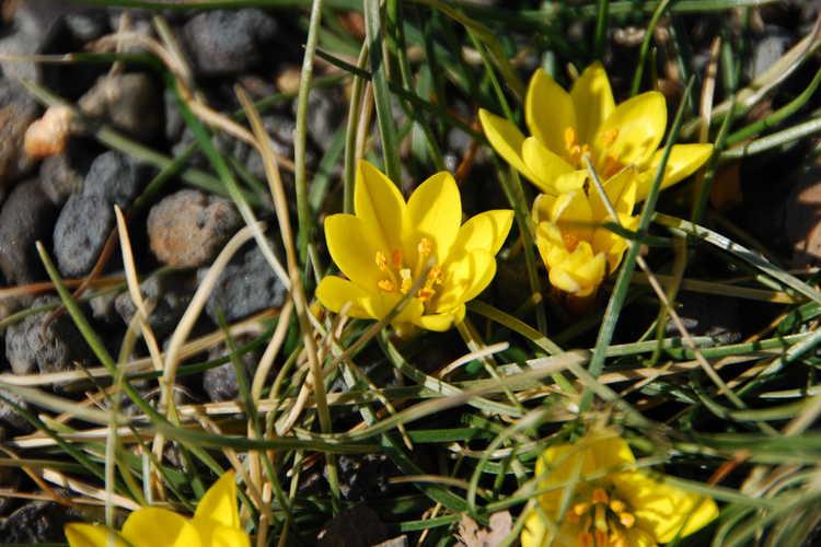 Nothoscordum sellowianum (false yellow crocus)