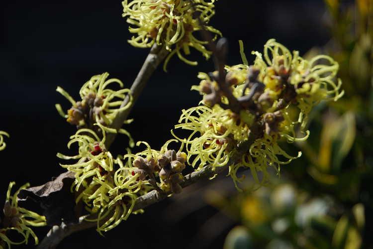 Hamamelis ×intermedia 'Sunburst' (common witchhazel)