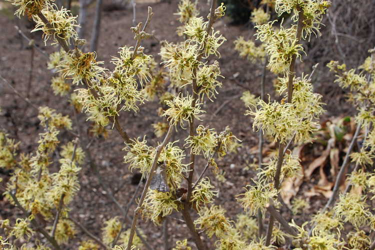 Hamamelis ×intermedia 'Wiero' (common witchhazel)