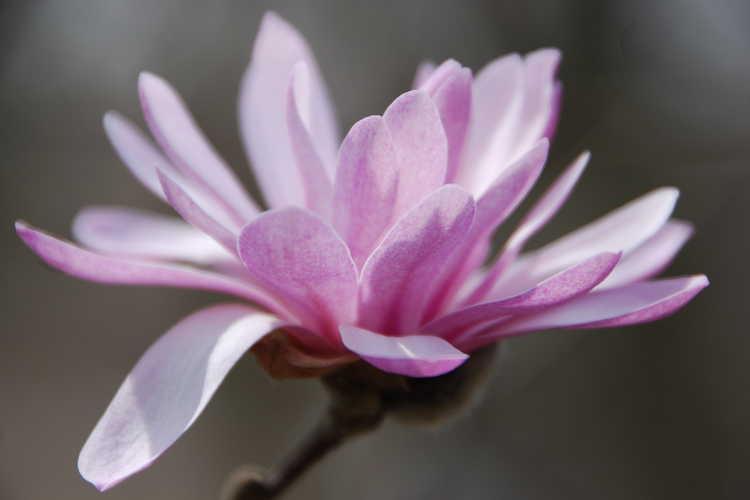 Magnolia stellata 'Jane Platt' (star magnolia)