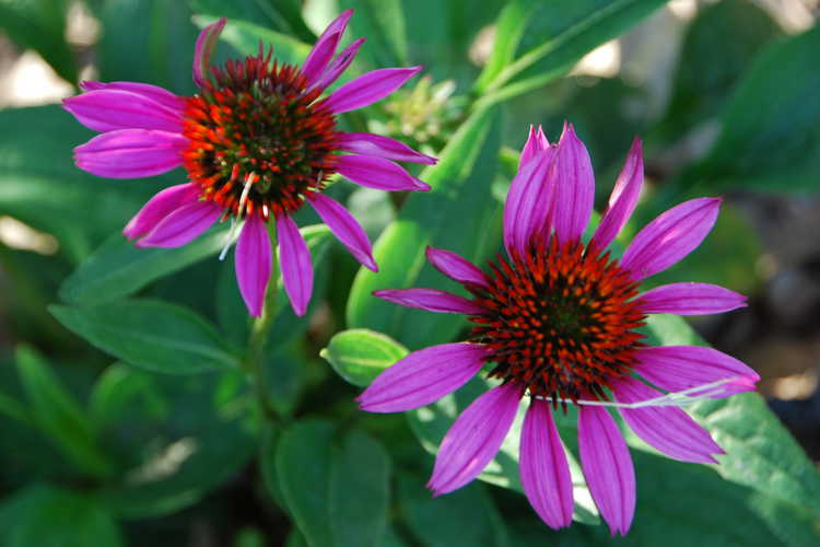Echinacea 'Conekim' (Panther Pink™ hybrid coneflower)