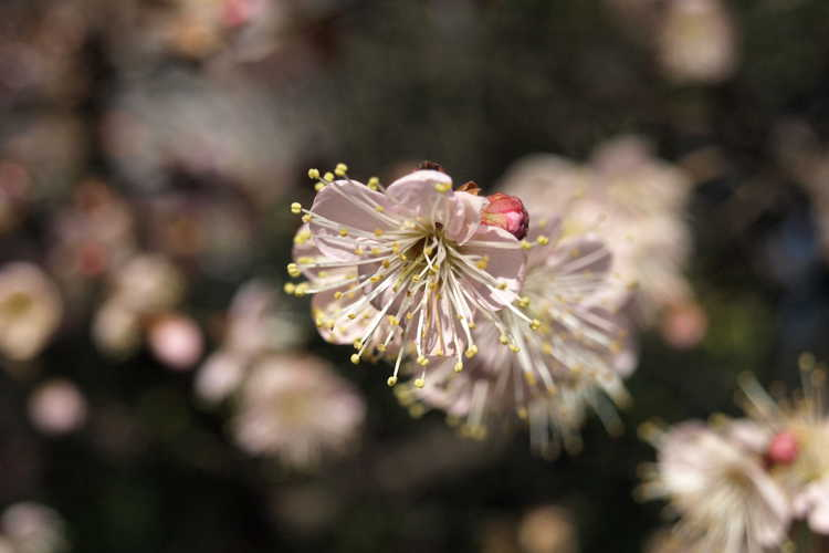 Prunus mume 'Trumpet' (pink Japanese flowering apricot)